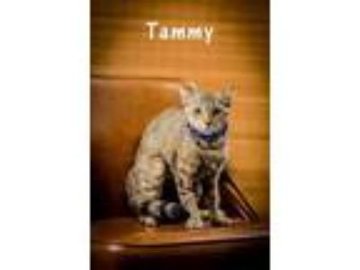 Adopt Tammy a Brown or Chocolate Domestic Shorthair / Domestic Shorthair / Mixed