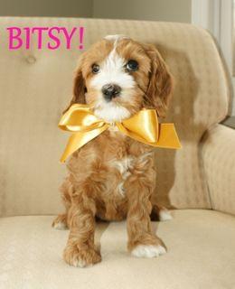 Australian Labradoodle PUPPY FOR SALE ADN-52026 - Australian Labradoodle  All Puppies Adopted