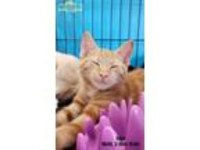 Adopt Iago a Orange or Red Tabby Domestic Shorthair (short coat) cat in