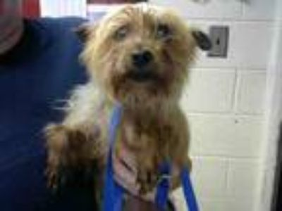 Adopt YOSHI a Yorkshire Terrier