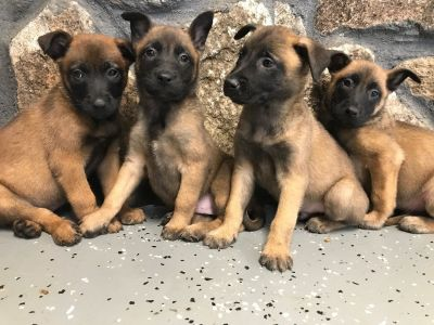 Working Dogs ForSale Belgian Malinois