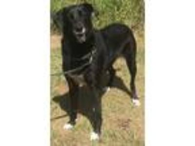 Adopt Josie a Black - with White Labrador Retriever / Mixed dog in Orlando