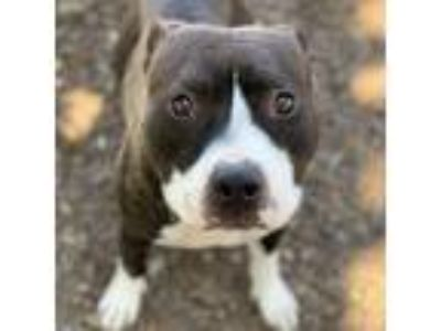 Adopt Tesla a Black - with White American Pit Bull Terrier / Mixed dog in