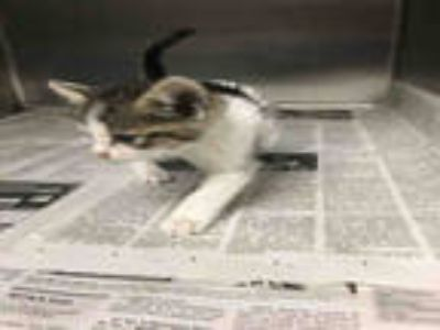 Adopt COFFY a Brown Tabby Domestic Shorthair / Mixed (short coat) cat in Los