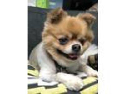 Adopt Kody a Tan/Yellow/Fawn - with White Pomeranian / Pekingese / Mixed dog in