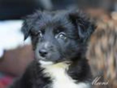 Adopt Mooni a Black - with White Labrador Retriever / Mixed dog in Spring