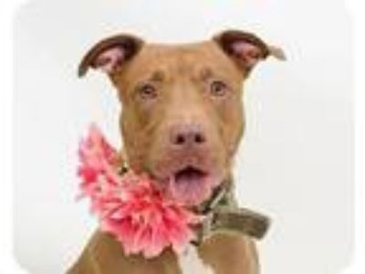 Adopt Poet a American Staffordshire Terrier