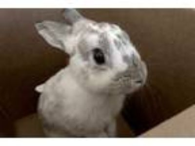 Adopt Oreo a White Dwarf / English Spot / Mixed rabbit in Voorhees