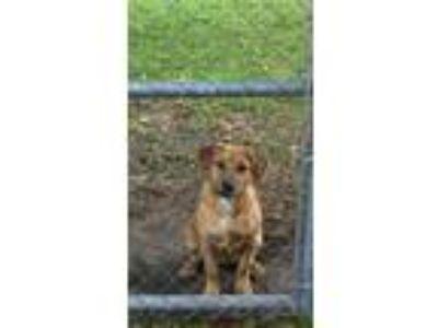 Adopt Ginger a Red/Golden/Orange/Chestnut - with White Rhodesian Ridgeback dog