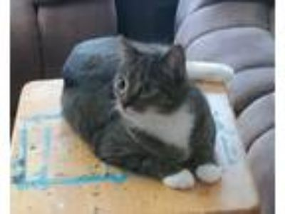 Adopt Striperella *Courtesy Post* a Domestic Short Hair