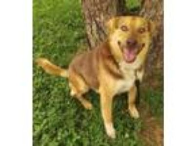 Adopt Muttley Crew a German Shepherd Dog