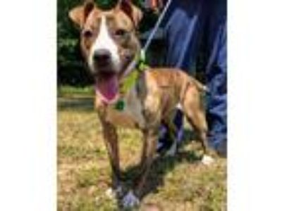 Adopt Berry Blossom a Boxer / American Staffordshire Terrier / Mixed dog in