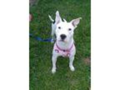 Adopt Sally a American Pit Bull Terrier / Bull Terrier / Mixed dog in Baton