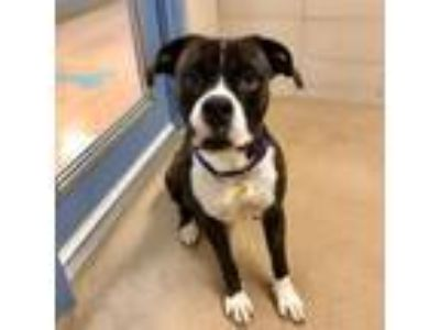 Adopt Cadence a Boxer, Pit Bull Terrier