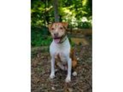 Adopt Athena a Pit Bull Terrier
