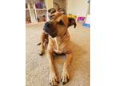 Adopt Chloe a Red/Golden/Orange/Chestnut - with White American Pit Bull Terrier