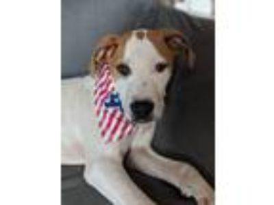 Adopt Flurry a Pit Bull Terrier, Boxer