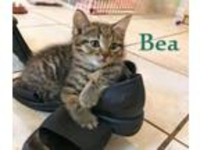 Adopt BEA a Domestic Short Hair