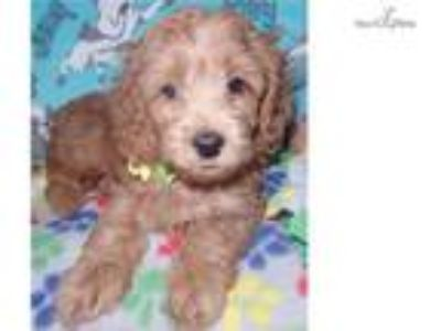 Trained Cockapoo For Sale Indiana/Kentucky