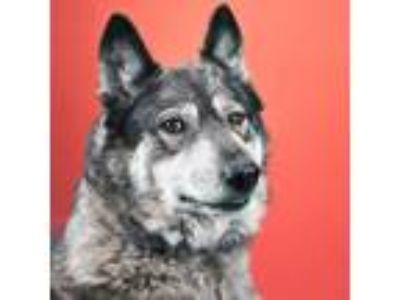 Adopt Luna a Brown/Chocolate Shepherd (Unknown Type) / Husky / Mixed dog in