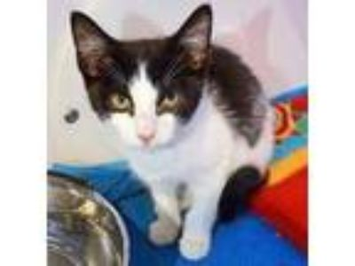 Adopt Cher a White Domestic Shorthair / Domestic Shorthair / Mixed cat in