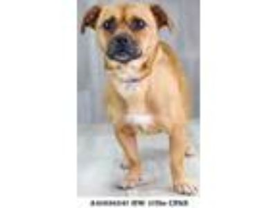 Adopt SALLY a Brown/Chocolate Pug / Dachshund / Mixed dog in Shreveport