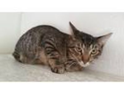 Adopt Denzel a Brown Tabby Domestic Shorthair / Mixed (short coat) cat in