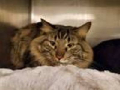 Adopt MANNY a Domestic Medium Hair