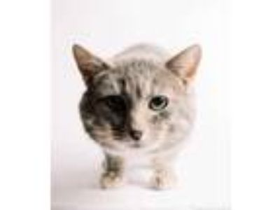 Adopt Harold a Gray or Blue Domestic Shorthair / Domestic Shorthair / Mixed