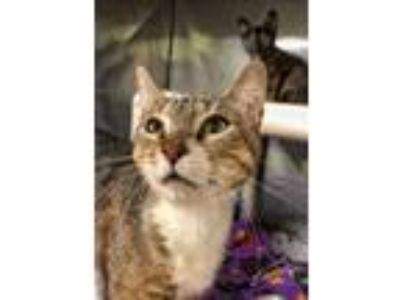 Adopt Jazell a Domestic Shorthair / Mixed (short coat) cat in Gautier