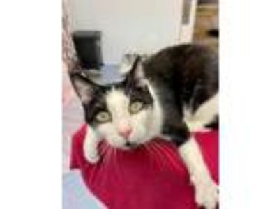 Adopt Joey a Domestic Short Hair