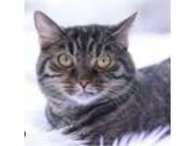 Adopt MaryLou a Domestic Short Hair