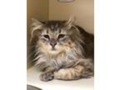 Adopt McKayla a Domestic Medium Hair