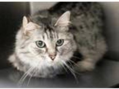 Adopt Coco a Gray or Blue Domestic Mediumhair / Domestic Shorthair / Mixed cat