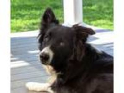 Adopt Brody a Border Collie