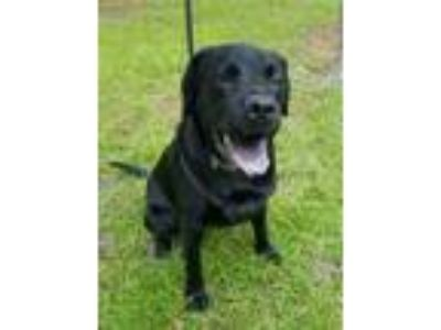 Adopt Harper a Black Labrador Retriever / Bull Terrier / Mixed dog in Burgaw