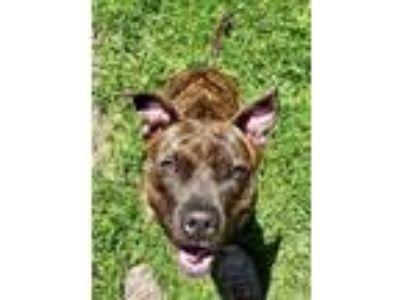 Adopt Roxy a American Staffordshire Terrier, Pit Bull Terrier