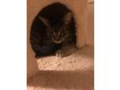 Adopt Tiger @ Petsmart a Domestic Shorthair / Mixed (short coat) cat in Newberg
