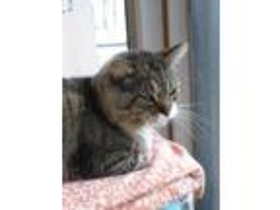 Adopt Mittens a Brown Tabby Domestic Shorthair / Mixed (short coat) cat in