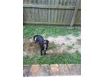 Adopt Ezra a Black - with White Labrador Retriever / German Shepherd Dog / Mixed