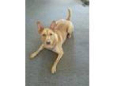 Adopt Izzy a Tan/Yellow/Fawn German Shepherd Dog / Labrador Retriever / Mixed