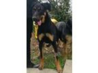 Adopt Stella a Black - with Tan, Yellow or Fawn Doberman Pinscher / Shepherd