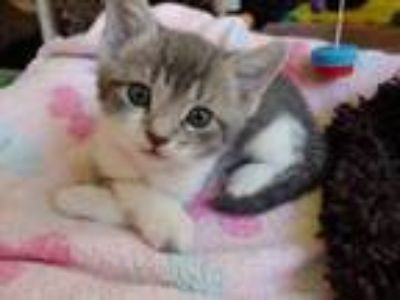 Adopt ANDRETTI a Gray, Blue or Silver Tabby Domestic Shorthair / Mixed (short