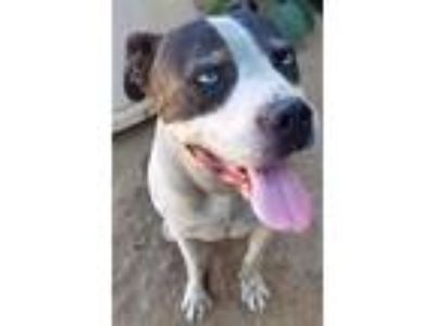 Adopt Cary Grant Meyer a Pit Bull Terrier, Border Collie