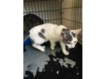 Adopt 41707117 a White Domestic Shorthair / Domestic Shorthair / Mixed cat in
