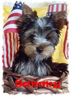 YORKSHIRE TERRIER PUPPIES $1800+