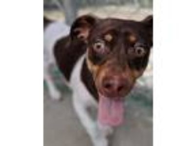 Adopt King Julian a Jack Russell Terrier / Mixed dog in FREEPORT, FL (25918158)
