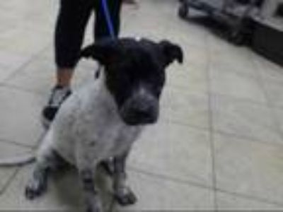 Adopt PRINCESS a Black - with White German Shorthaired Pointer / American Pit