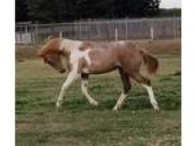 Registered IALHA Spain PRE ANCCE Half Andalusian Azteca Filly