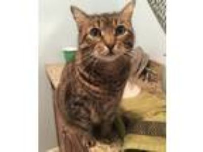 Adopt Buster a Tiger Striped Domestic Shorthair cat in New Hyde Park
